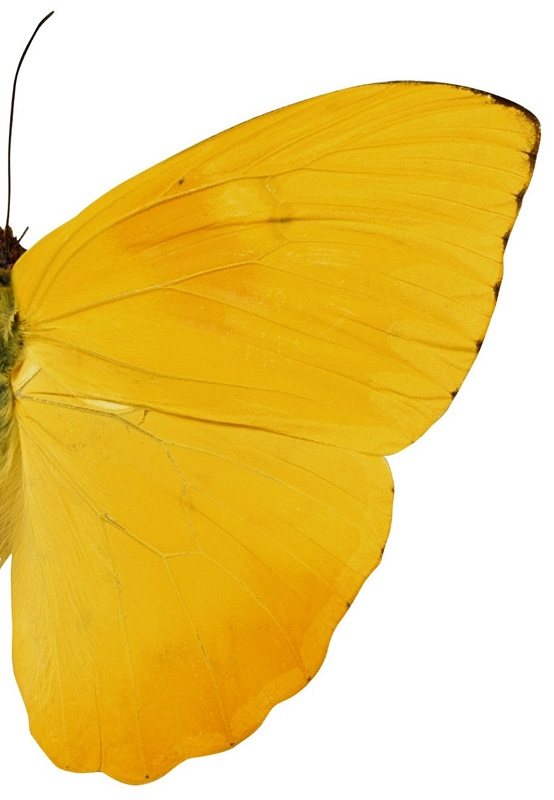 half of yellow butterfly